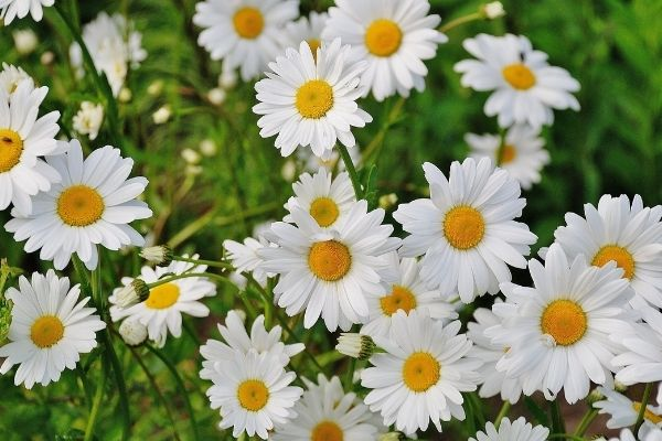 white daisies with yellow centres