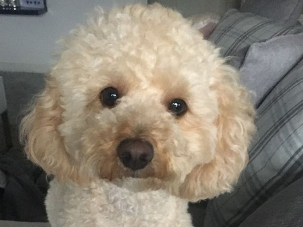 a white cavapoo called Carmel looks straight at the camera whilst sitting on a grey sofa