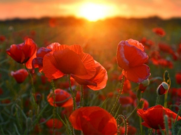 Red poppies in a field with the sunsetting behind them